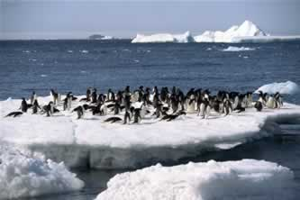 penguns on an ice floe, icebergs in the sea in the background