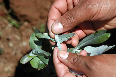 photo of hands holding grey-green leaves