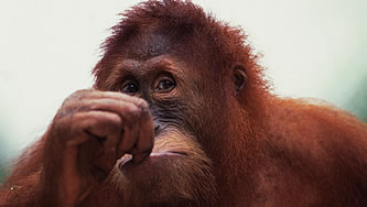 photo of an orangutan looking pensive