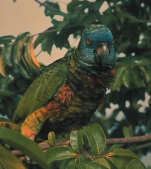 the birdman of st. lucia