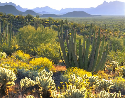 Chollas, brittlebrush, and organ pipe cacti in Organ Pipe Cactus National Monument — photo by Jack Dykinga