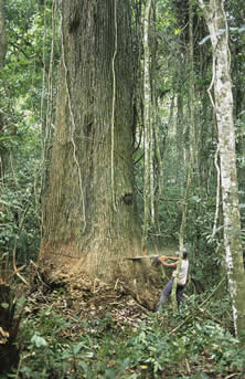 photo of a rainforest tree being cut with a chiainsaw