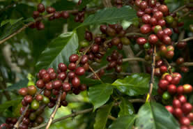 closeup photo of coffee cherries on a tree