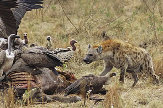 photo of a hyaena facing a group of vultures over a dead animal