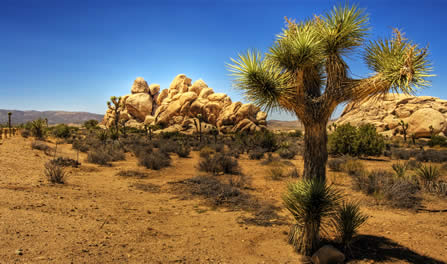 photo of a verdant desert landscape, Joshua tree in the foreground