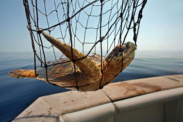 photo of a sea turtle in a net on the transom of a boat