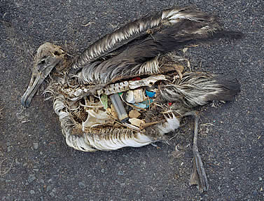 photo of a dead, partly decayed seabird on a dark sand beach, body cavity filled with bits of plastic trash
