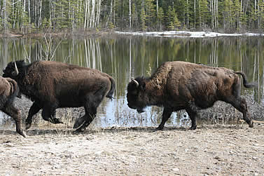 photo of bison walking by a lake