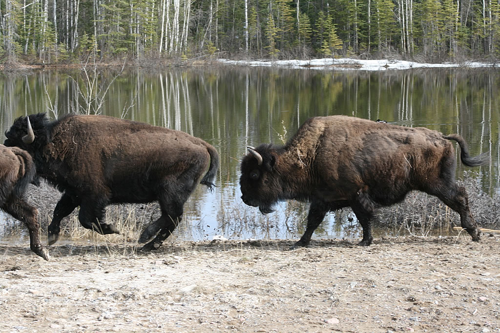Need help do my essay wood bison