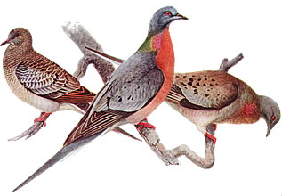 illustration showing passenger pigeons