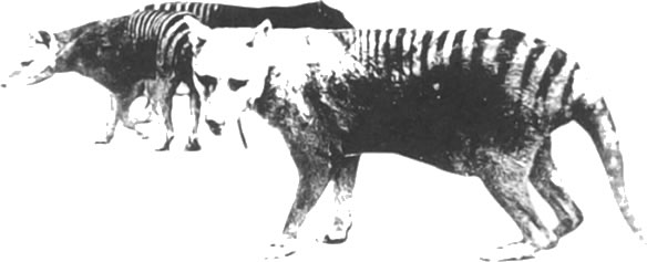 woodcut-style artwork of thylacines
