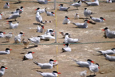 photo of terns on the ground, rope marking measured sections