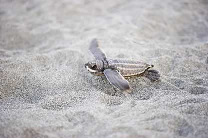 photo of a tiny sea turtle on sand