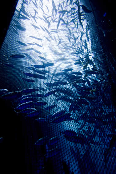 underwater photo of fish in a net