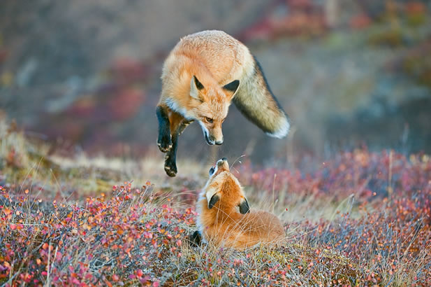 photo of a fox in an apparently playful mid-air pounce toward another fox