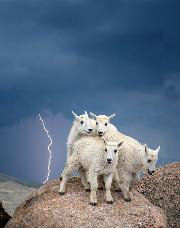 photo of several mountain goats on a hill, lightning flashing in the background