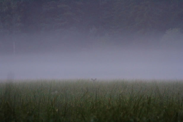photo of a fog-gentled meadow, a shadowy forest and an animal looking toward the camera