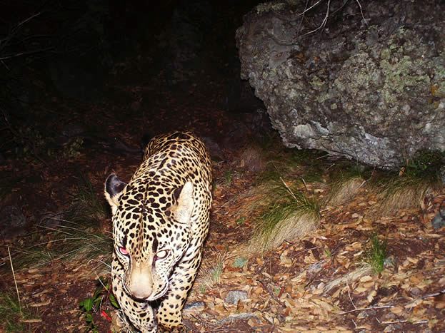 night photo of a jaguar