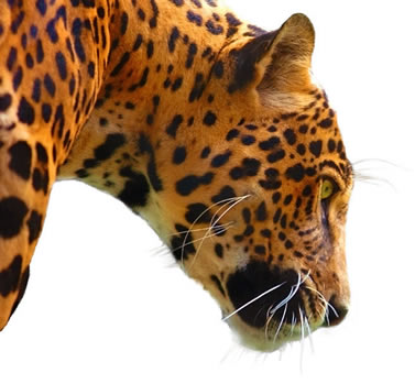 photo of the head of a jaguar