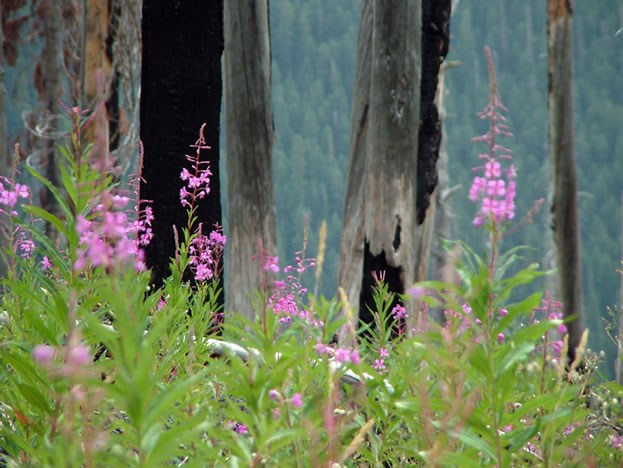 photo of wildflowers, charred snags in the background