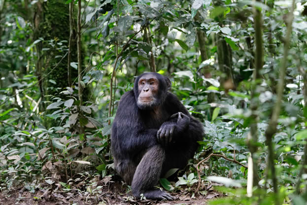 photo of a chimpanzee