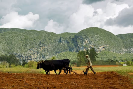 photo of oxen and a man with a plow in the tropics