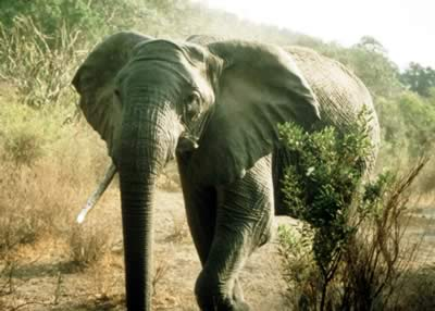African elephant. Photos.com