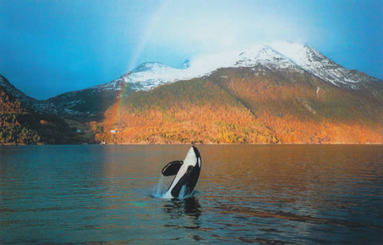 Keiko, the orca, leaping under a snow-and-forested mountain and a rainbow