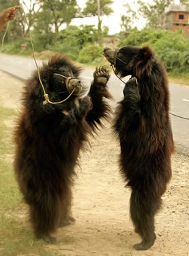 photo of two bears standing bipedal, tied with ropes around their snouts