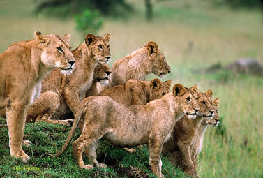 photo of a pride of lions on the veldt
