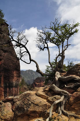 photo of a gnarled old tree on a rocky outcrop in a canyon with mountains and forests in the background
