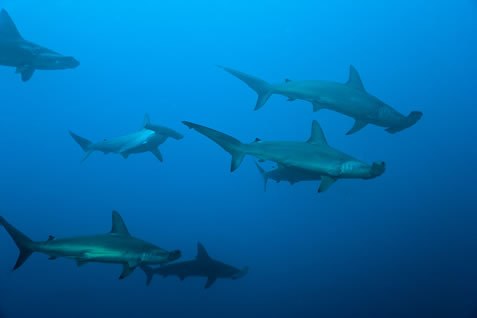 underwater photo of hammerhead sharks