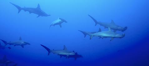 photo of hammerhead sharks in deep water