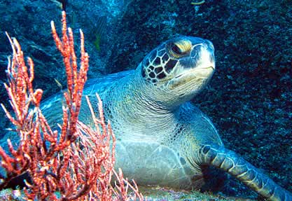 photo of a sea turtle looking out from a coral reef