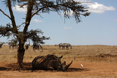 photo of a rhinoceros in the shade on a dry plain; zebras in the background