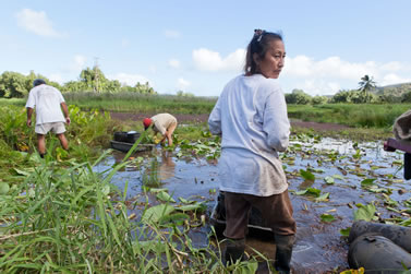 photo of a person working in a taro patch