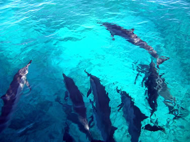 photo of dolphins as seen from above the surface