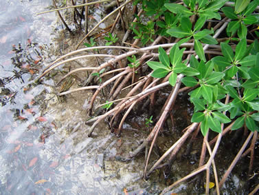 photo of mangrove roots