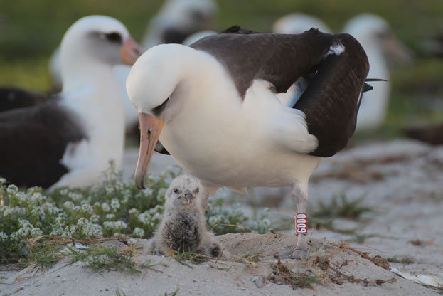 photo of an albatross with a chick, the adult bird has an identity band