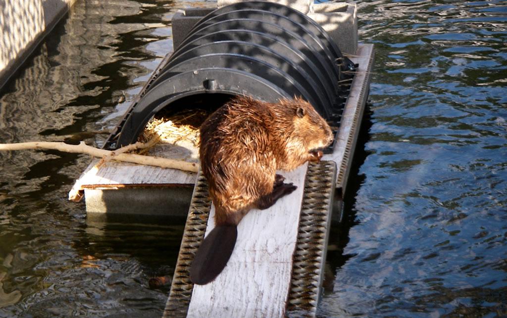 Metro eager beavers scene extract