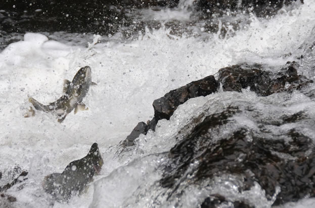 photo of a salmon, leaping in a waterfall