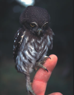 Cactus ferruginous pygmy owl. Fish and Wildlife Service photo