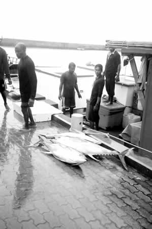 Maldives Dolphin-Safe tuna unloaded from a traditional pole-and-line boat. --Jacqueline Sauzier photo