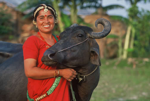 In Nepal, Heifer provides families water buffalo for draft power and milk. Darcy Kiefel/Heifer International photo