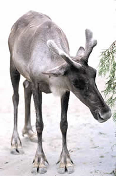 photo of a young caribou