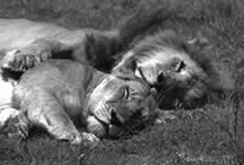 photo of a male and a female lion asleep