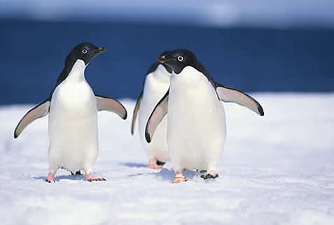 photo of penguins on ice, blue sea in the background