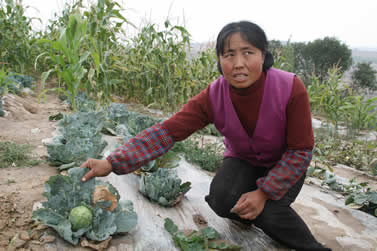 photo of a woman showing the wilted outside of a cabbage in a field