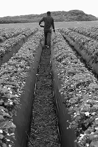 photo of a person walking between rows of crops