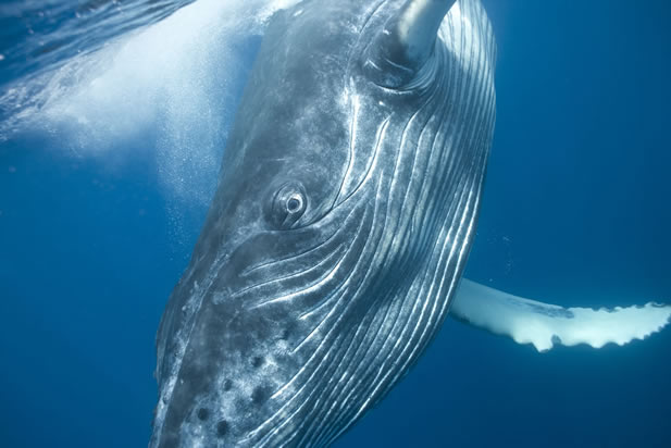 close-up photo of a whale, underwater; it is looking right at the camera